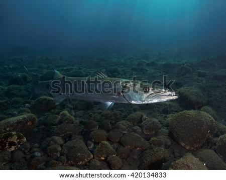 Great barracuda in Bali sea, Indonesia - stock photo