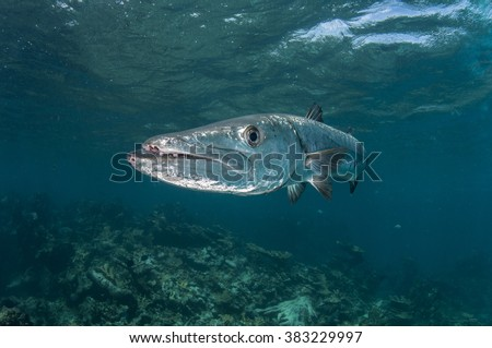 Great barracuda on reef in the Bahamas - stock photo