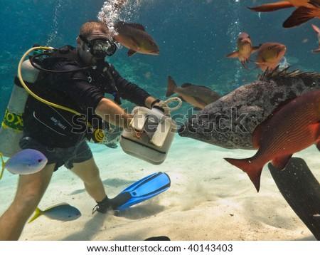 GREAT BARRIER REEF, AUSTRALIA - OCT 28:  Scuba diving tourist feeds a giant potato cod (Epinephelus tukula) October 28, 2009 in Great Barrier Reef, Australia. - stock photo