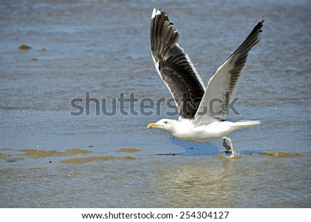 Great Black-backed Gull (Larus marinus) in flight over sea water - stock photo