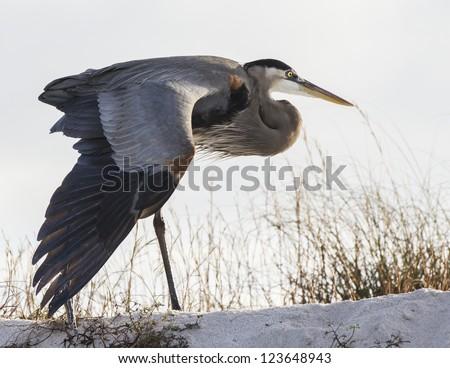 Great Blue Heron 2 - stock photo
