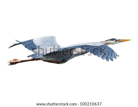 Great Blue Heron (Ardea herodias) - stock photo
