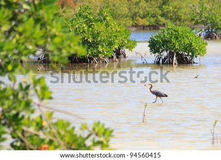 Great Blue Heron (Ardea herodias) - stock photo