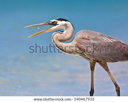 Great blue heron, Ardea herodias,  catching a fish - stock photo