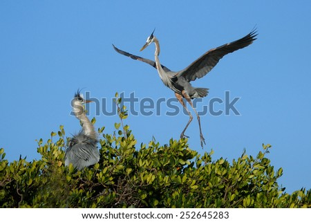 Great blue heron (Ardea herodias) flying to the nest - stock photo