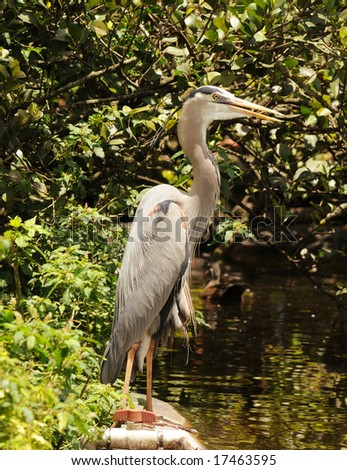 Great blue heron (Ardea herodias) in Florida - stock photo