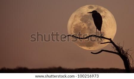 Great blue heron, ardea Herodias, profiled against sky and rising full moon - stock photo