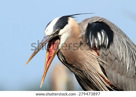 Great Blue Heron (Ardea Herodias) standing in a marsh - stock photo