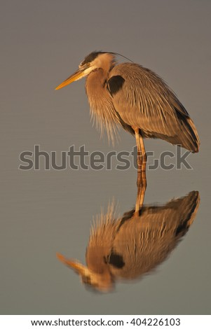 Great Blue Heron (Ardea herodias) standing in water reflexion in the morning light - stock photo