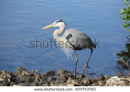Great blue heron at J.D. Darling Wildlife Refuge, Fort Myers, FL - stock photo