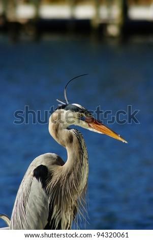 Great Blue Heron Crane - stock photo