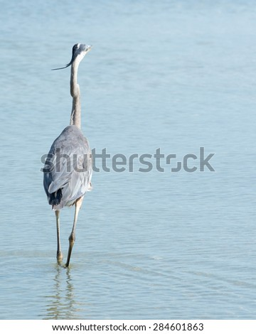 Great Blue Heron fishing for food in a creek. - stock photo