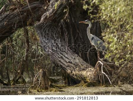 great blue heron in Danube Delta - stock photo