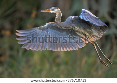 great blue heron in flight over florida wetland - stock photo