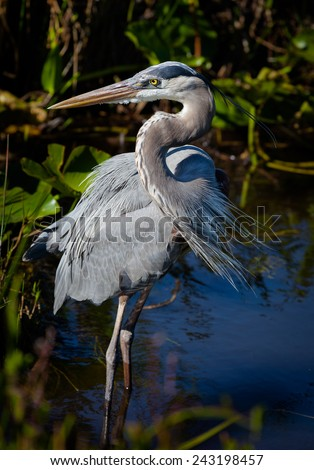 Great blue heron in left profile - stock photo