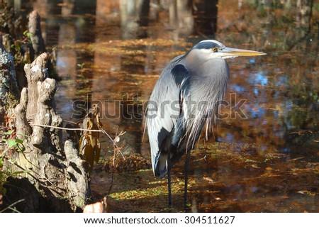 Great Blue Heron in Marsh - stock photo