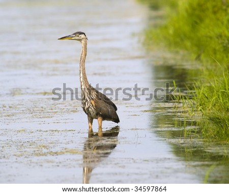 great blue heron in nature with water around. Waiting to fish - stock photo