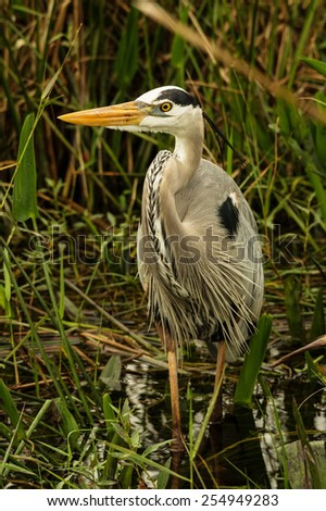 great blue heron or Ardea herodias wading in a swamp - stock photo