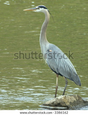 Great blue heron perched on a rock. - stock photo