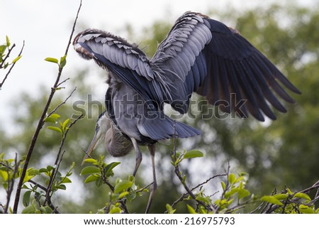 Great Blue Heron. Photo taken in Green Cay Wildlife Reserve Southern Florida.  - stock photo