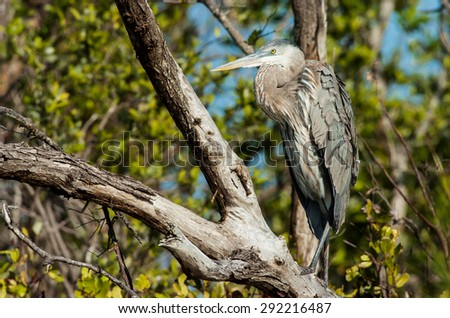 Great Blue Heron sitting in a tree on a cool, fall afternoon - stock photo