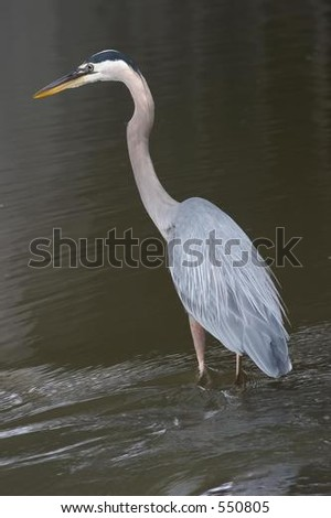 Great Blue Heron standing in river - stock photo