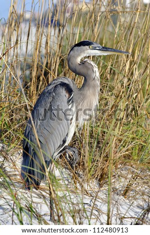 Great blue heron standing in the sand at the beach with sea oats in the background. - stock photo