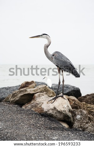 Great blue heron standing on the rocks - stock photo
