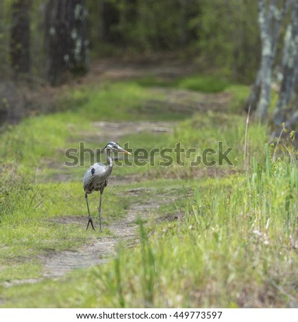 Great Blue Heron strolling down forest path - stock photo