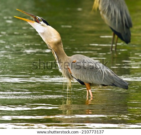 Great blue heron swallowing large fish - stock photo