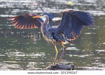 Great Blue Heron, Victoria, BC, Canada - stock photo