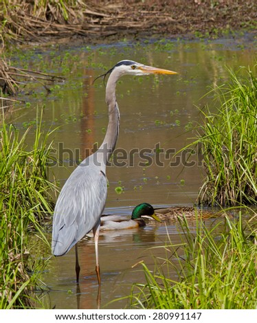 Great Blue Heron wading in a wetland with mallard ducks. - stock photo