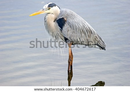 Great Blue Heron Wading in the Wetlands - stock photo