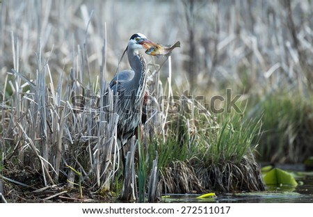 Great Blue Heron with a fish - stock photo
