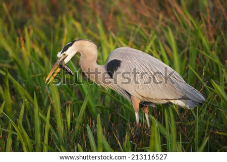 Great Blue Heron with Catfish - stock photo