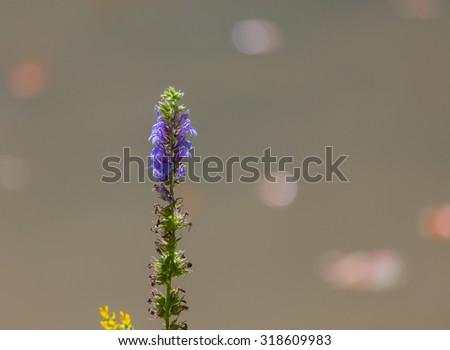 Great Blue Lobelia (Lobelia siphilitica) with a blurred background - stock photo