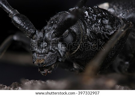 Great capricorn beetle (Cerambyx cerdo). Extreme macro - stock photo