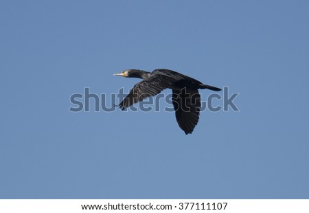 Great Cormorant in flight - stock photo