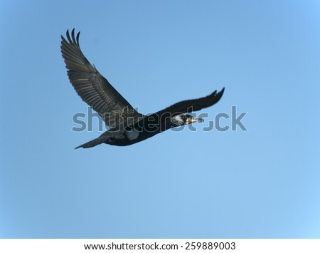 great cormorant (Phalacrocorax carbo) in flight - stock photo