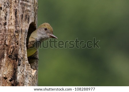 Great Crested Flycatcher emerging from nest hole in tree - stock photo