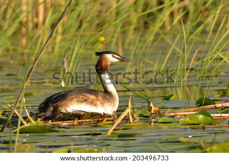 Great Crested Grebe on Nest in Danube Delta - stock photo