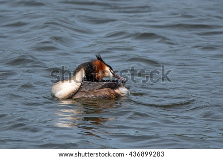 Great crested grebe or Podiceps cristatus - stock photo