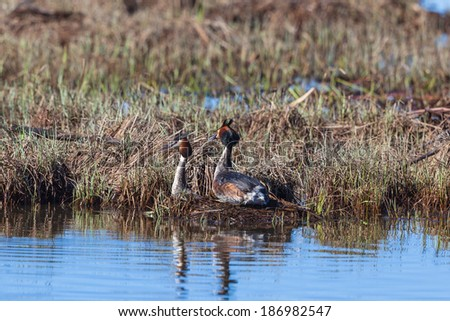 Great Crested Grebe pair on the nest - stock photo