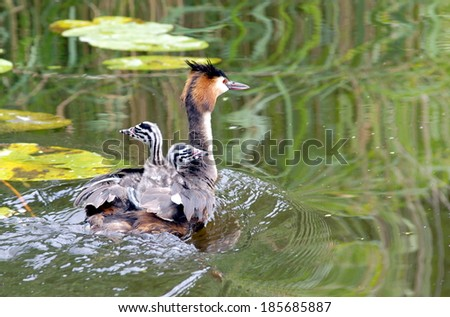 Great Crested Grebe with little one's on her back .The adults teach these skills to their young by carrying them on their back and diving, leaving the chicks to float on the surface  - stock photo