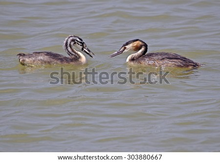 Great Crested Grebe with nestling. - stock photo
