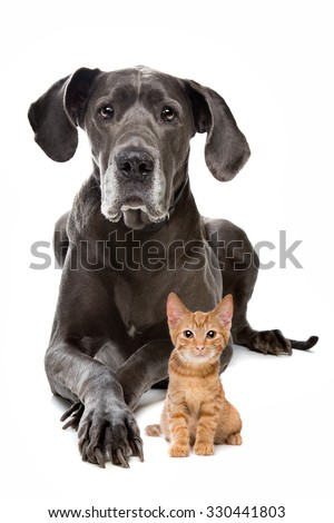 Great Dane and a Red kitten in front of a white background - stock photo