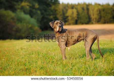 Great Dane blue  12 Years old Deutsche Dogge - stock photo
