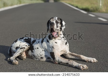 great dane dog breed lying down on street - stock photo