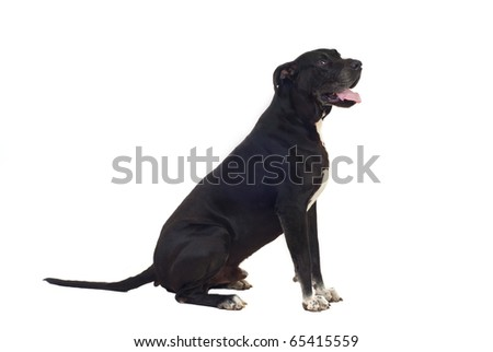 Great Dane dog sitting down in profile isolated on white background - stock photo