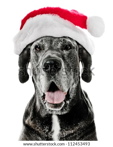 Great Dane Dog with Santa Hat - stock photo